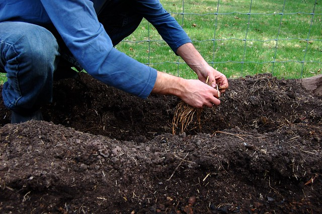 Laying the asparagus crowns over the mounds of compost by Eve Fox, the Garden of Eating, copyright 2015