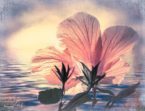 Image of a pink hibiscus bloom from the back