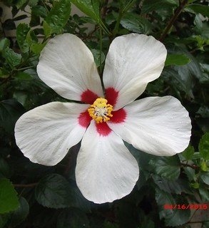 single cream color Hibiscus flower with a red center