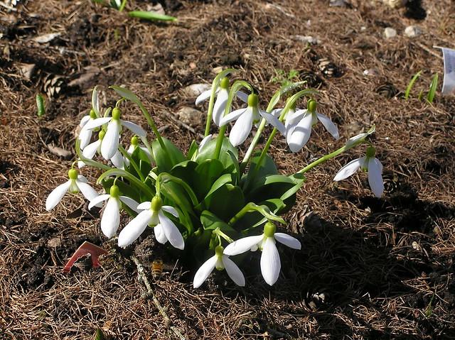 Galanthus platyphyllus, Tallinn BG