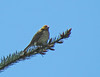 Purple Finch with yellow head?