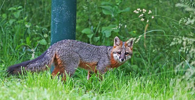Fox 20d_0831