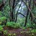 Monteverde (I). Parque Rural de Anaga. Tenerife by Abariltur