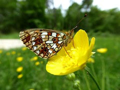 Petit Collier argenté - Small pearl-bordered Fritillary