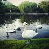 """Swans on Parade"" #swans #berlin #maybachufer #kreuzberg #travel #justaroundtheneighborhood"