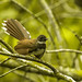 White spotted fantail