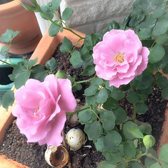 Lavender blooms on one of two rose bushes, that I've ever had any success growing.  My great grand grew the bigger most beautiful roses and I've long wanted to follow in her footsteps.  Since we have a major deer problem, I decided, to plant them in pots