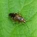 Mirid bug---Deraeocoris flavilinea by creaturesnapper