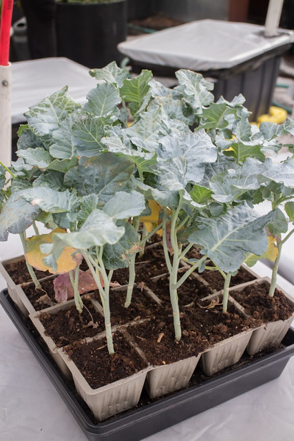 First Planting of the Year 2015 Broccoli_2