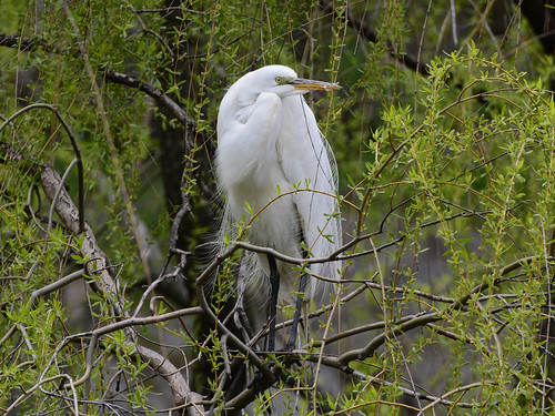 Morningside Egret - 9142