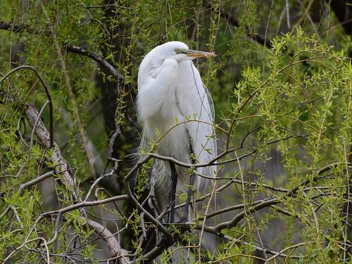 Morningside Egret - 9142