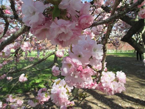 Prunus serrulata 'Horinji'