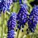 Grape Hyacinth by dietmar-schwanitz