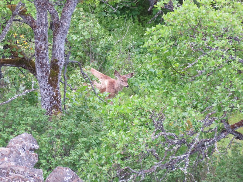Deer below Rowena Crest plateau