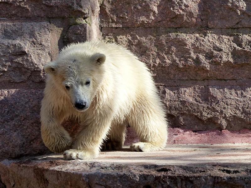 FIETE, polar bear cub series