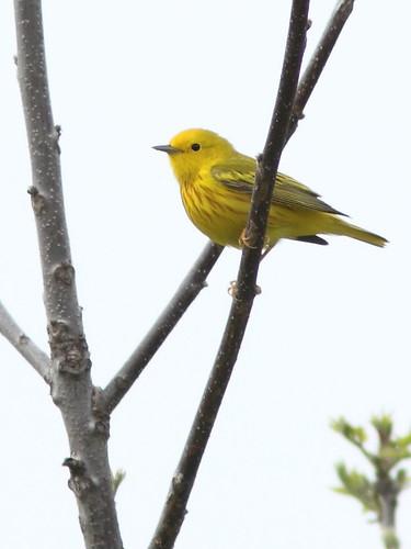 Yellow Warbler 2-20150414