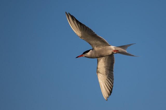 Tern on the hunt