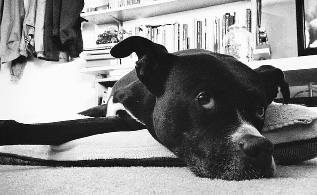 Still Bored #dogs #pitbull #pitbulls #pitbullterrier #pitbullterriers #bedrest #boredtodeath