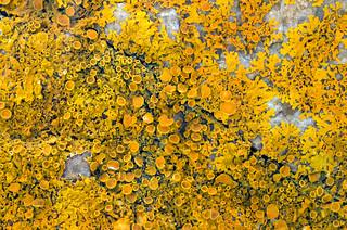 Xanthoria parietina lichen
