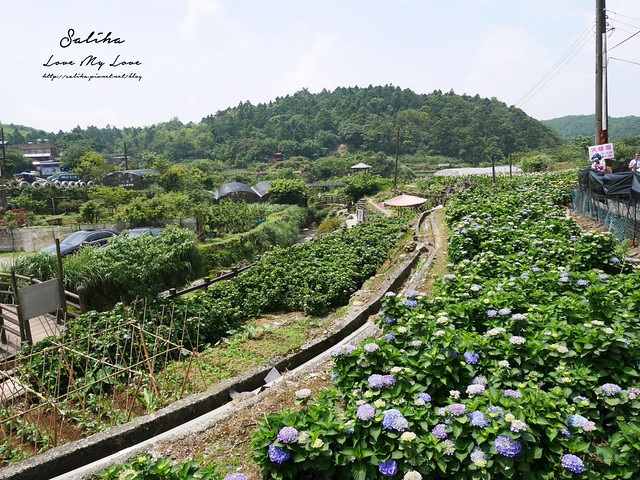 陽明山繡球花大梯田農場