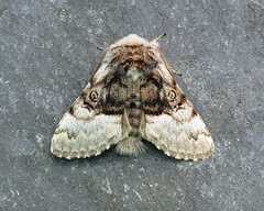 73.032 Nut-tree Tussock - Colocasia coryli