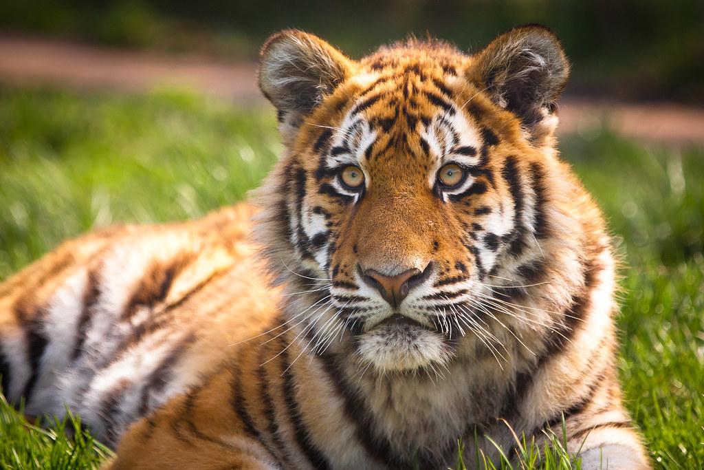 Siberian / Amur Tiger - Zambar,  Blackpool Zoo