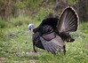 Wild Turkey 1 of 5