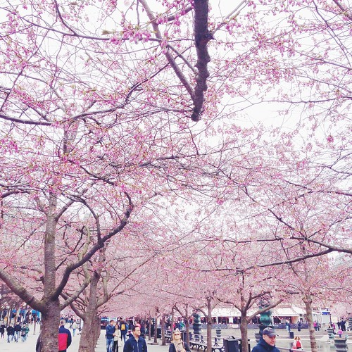 cherry blossom stockholm, april 19, 2015