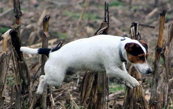 Jack Russell Terrier corriendo