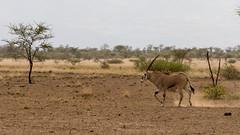 adventure(0.0), springbok(0.0), herd(0.0), kudu(0.0), giraffidae(0.0), impala(0.0), prairie(1.0), steppe(1.0), antelope(1.0), gemsbok(1.0), plain(1.0), mammal(1.0), grazing(1.0), fauna(1.0), oryx(1.0), savanna(1.0), grassland(1.0), safari(1.0), wildlife(1.0),