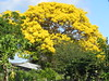 Gold tree (Tabebuia aurea) above green gardens