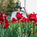 Falling Tulips in Lafayette Square by Geoff Livingston