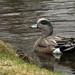 Canard d'Amérique mâle | Parc Angrignon | Montréal