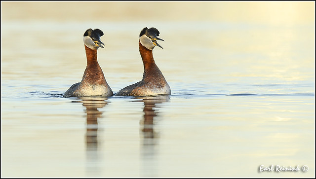 Courting Red-necked Grebe