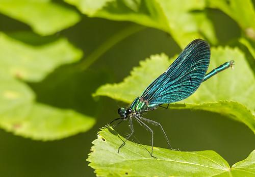 lithuania lietuva beautifuldemoiselle calopteryxvirgo šilalė pailgotis grakščiojigražutė