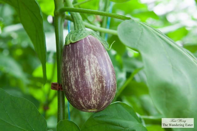 Striped eggplant