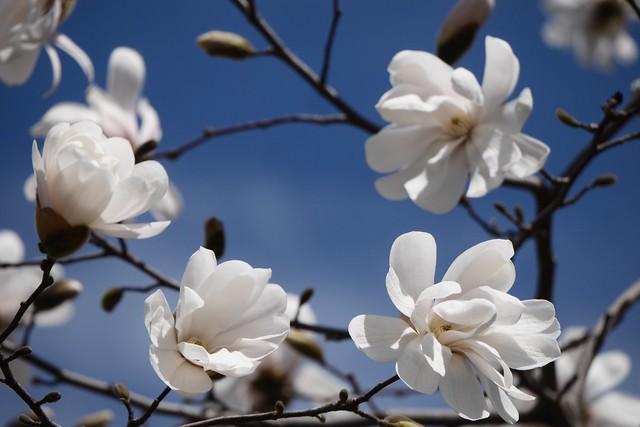 水, 2015-04-15 11:41 - Magnolia