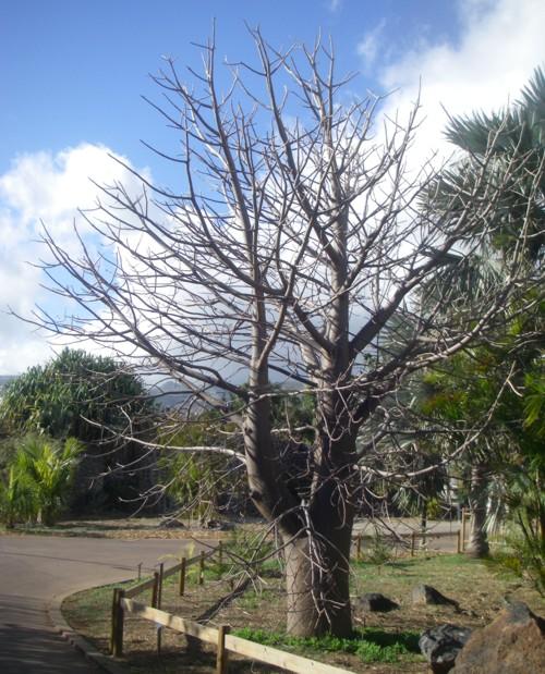 Adansonia madagascariensis 17070741365_0ddebafa0e_o