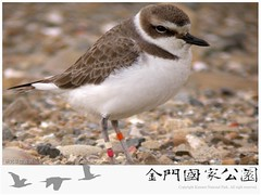 金門水鳥族群研究成果-04