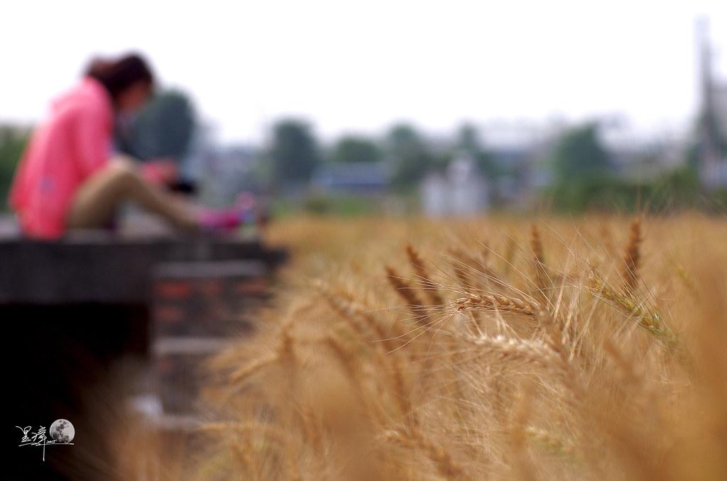 大雅小麥節