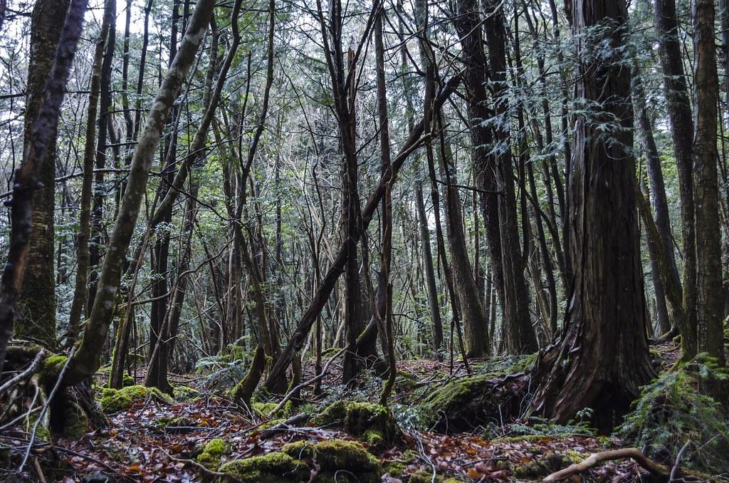 Aokigahara