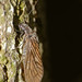 Alderfly (Sialis fuliginosa) ©berniedup
