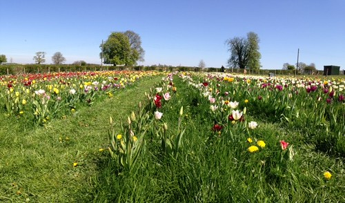 Tulip picking in Somerset