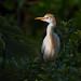 Cattle Egret by Michael Pancier Photography