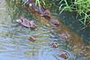 Mallard Duck and Ducklings 3257 by digitalmarbles
