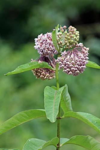 Photo of milkweed