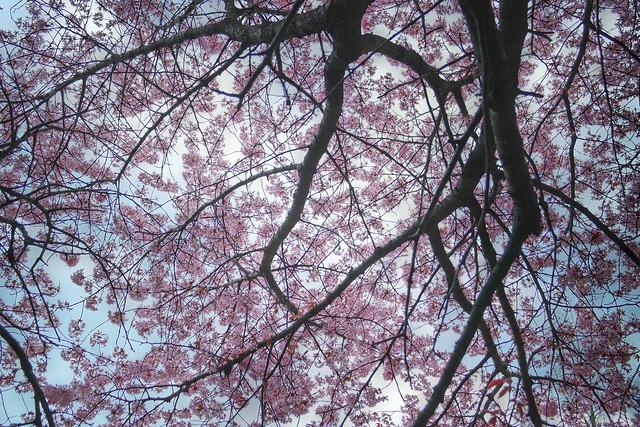 Árboles en flor en Helsinki