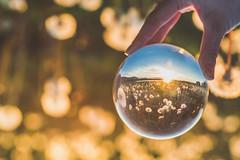 Dandelion Field | Glass Ball Project