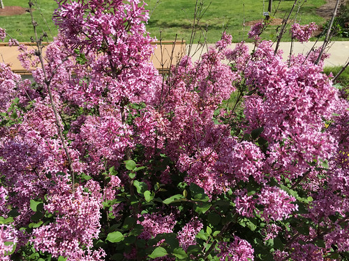 Syringa 'Bloomerang Purple'1