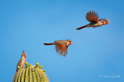 Pyrrhuloxia takes flight